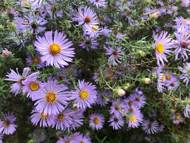 Fall Aster - Aster oblongifolium - August Gardening To-Dos