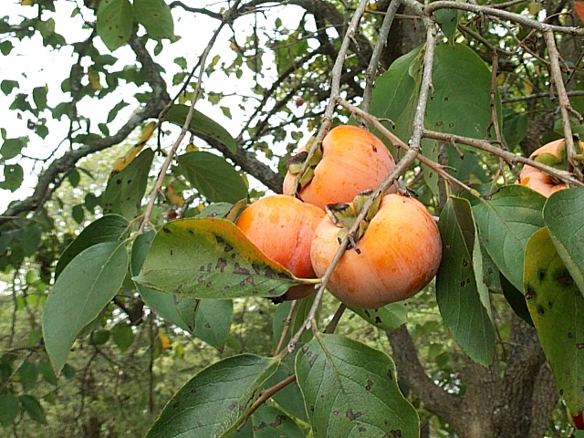 Oriental Persimmon Fruit - Backyard Fruit and Nuts