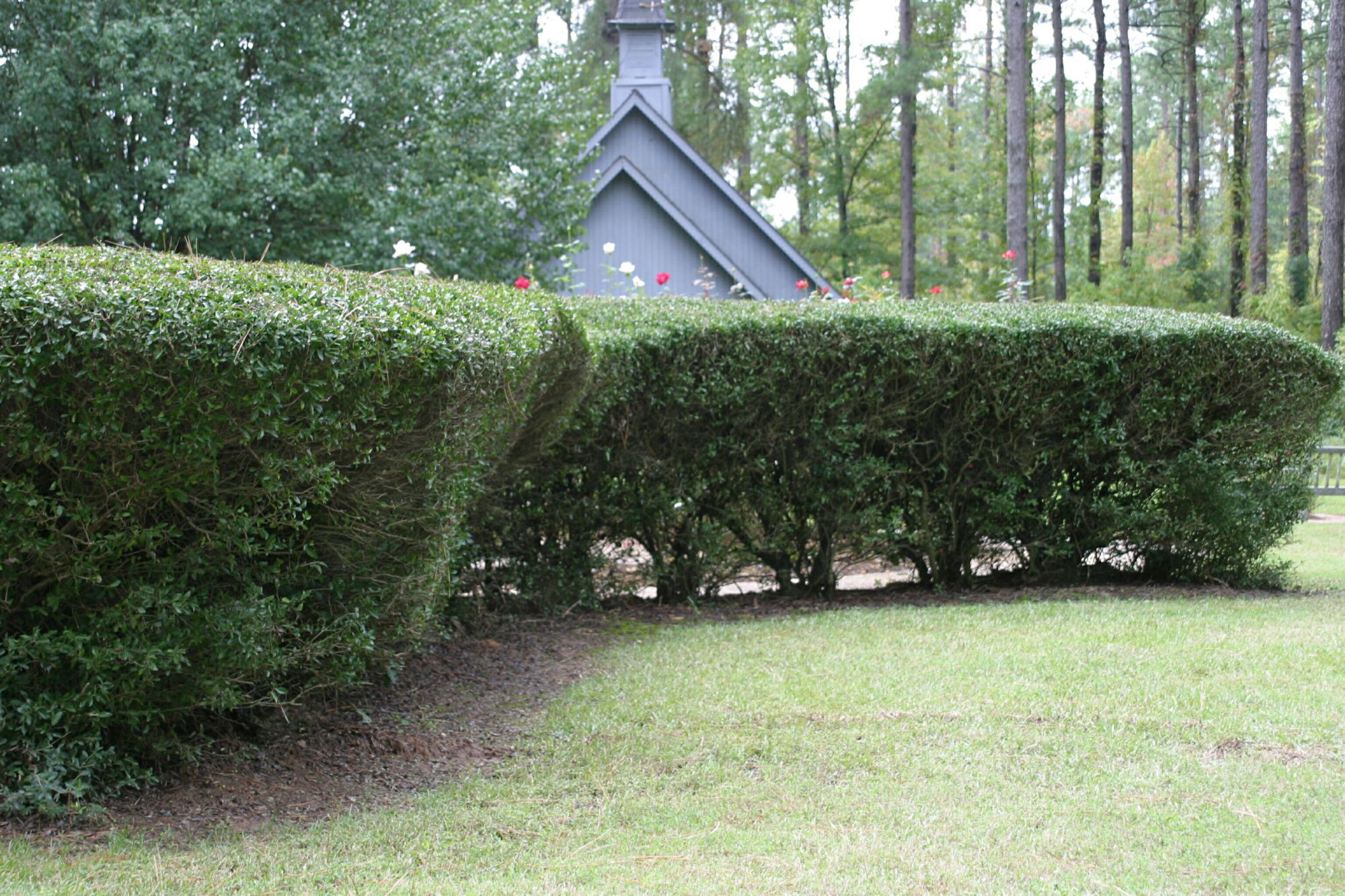 Yaupon hedge trimmed topheavy and losing lower foliage density